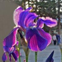 Поляна, цветущая синими снами :: Наталья Джикидзе (Берёзина)