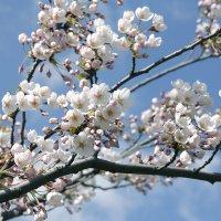 Цветение сакуры в высоких широтах :: Виктор (victor-afinsky)