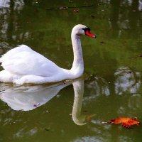 Белый лебедь на пруду :: Галина Новинская