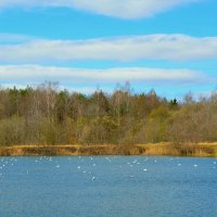 Чайки на озере. Весна 2015 :: Милешкин Владимир Алексеевич