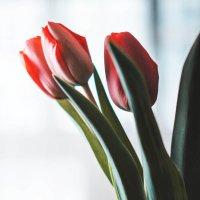 Тюльпаны :: Серёга Одайник