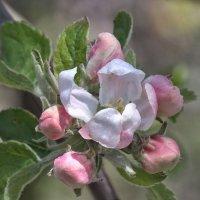Яблони цветут :: Валерий Басыров