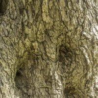 Кора оливкового дерева :: Gennadiy Karasev