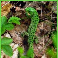 Ящерка зеленая :: Андрей Заломленков