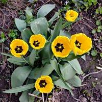 Тюльпани цвітуть :: Степан Карачко