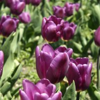 тюльпаны :: Мария Климова