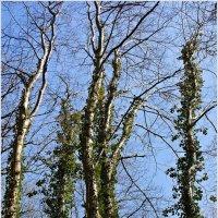 Деревья в плюще. :: Валерия Комова