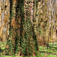 Дерево в плюще. :: Валерия Комова
