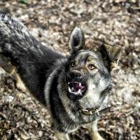 Canis lupus familiaris ... :: Роман Шершнев