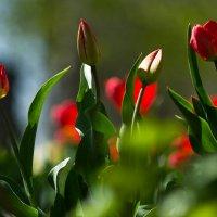 Первые тюльпаны :: Lev Serdiukov
