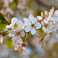 Весеннее цветение :: Елена Васильева