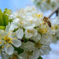 Пчела :: Павел Живага