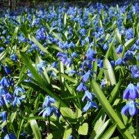 Голубое поле :: Елена Павлова (Смолова)
