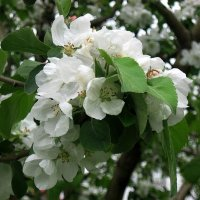 Яблони в цвету :: Natali