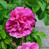Краше садовых роз... :: Ольга