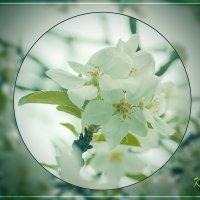 Цвет яблони :: Вадим Куликов