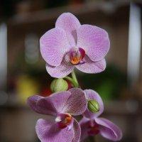 Орхидея :: ИГОРЬ ЧЕРКАСОВ