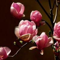 Магнолии   прекрасные   цветы :: Наталья Джикидзе (Берёзина)