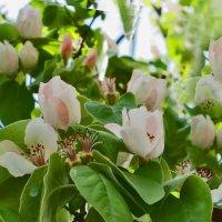 Нежность цветения айвы :: Наталья (D.Nat@lia)