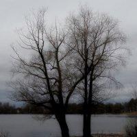 Про весеннюю ветлу :: Юрий Цыплятников