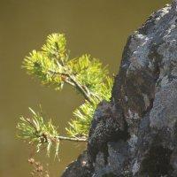 И на камнях растут деревья :: Людмила