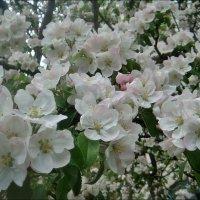 Яблоневый цвет :: Нина Корешкова