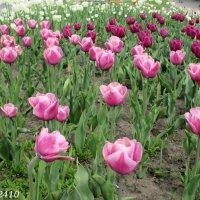 Тюльпаны :: Нина Бутко