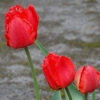 Первомайские тюльпаны... :: Тамара (st.tamara)
