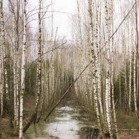 Березы на болоте :: Владимир Левый