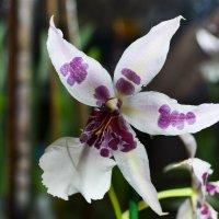 Орхидея :: Мария Соколова