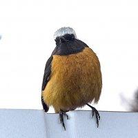 Трехцветный птах :: Анатолий Иргл