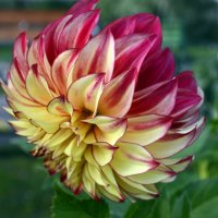 огненный цветок :: Елена Давыдова