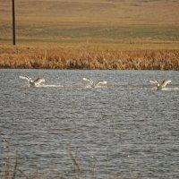 Танец белых лебедей :: Илсур Загитов
