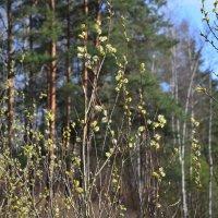 Я в весеннем лесу... :: Oleg4618 Шутченко