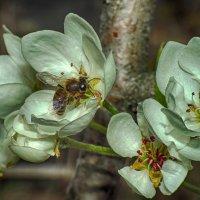 Пчела и груша :: Богдан Погадаев