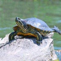 Ласточка красноухой черепахи. :: Светлана Ивановна Медведева