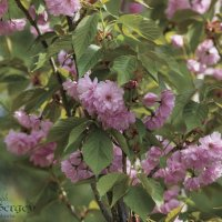Сакура в цвету :: Сергей Шруба