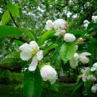 яблоневый цвет :: Galina Dzubina