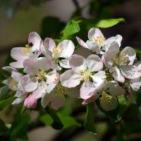 Лесная яблоня :: Nina Streapan