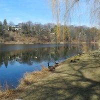 Дикие канадские гуси чувствуют себя хозяевами в парке :: Юрий Поляков