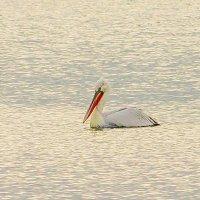 одинокий пеликан :: Олег Мартоник