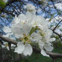 цветок груши :: Людмила