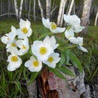 Лесные анемоны. :: nadyasilyuk Вознюк