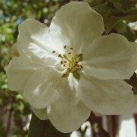 Яблоня в цвету :: Varvara Aravrav