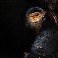 Капуцины...Их называют «широконосыми обезьянами» из-за широкой перегородки между ноздрями. :: Александр Вивчарик