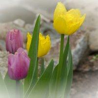 Тюльпаны :: Marina Timoveewa