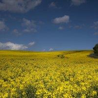 золотое поле :: Лика Охрименко