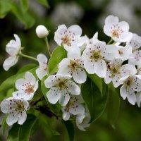 Яблони в цвету  ( а может быть и груши ) :: Dr. Olver  ( ОлегЪ )