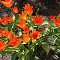 Тюльпаны :: Елена Павлова (Смолова)