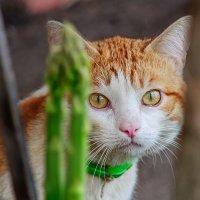 Рыжий кот сидит в засаде, он охотится на птиц... :: Анатолий Клепешнёв